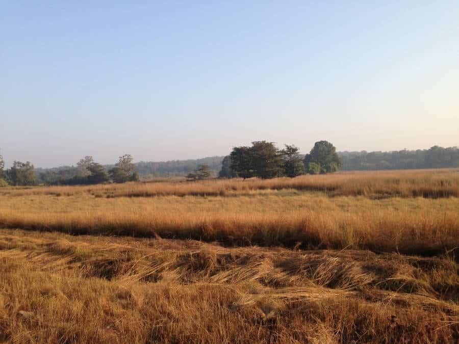 An image of a grasslands in Tadoba National Park