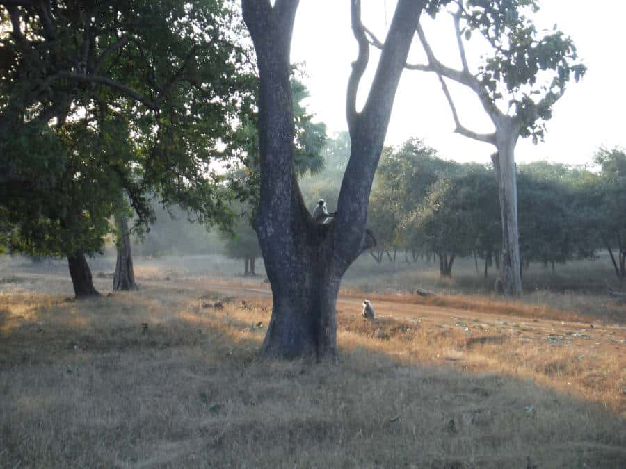 A picture of langur monkeys on a tree.