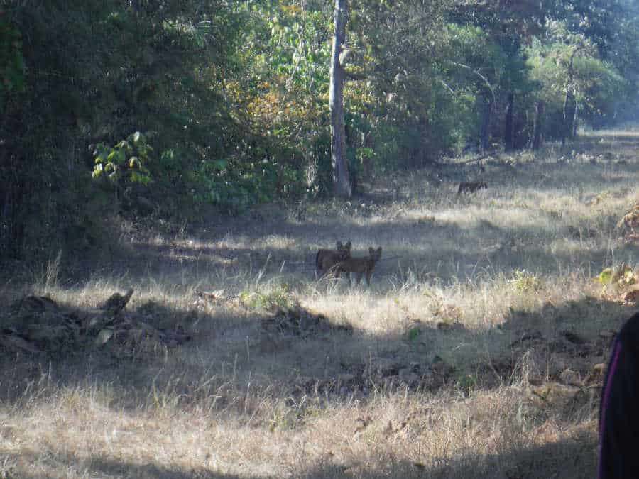 A picture of dholes running the grass