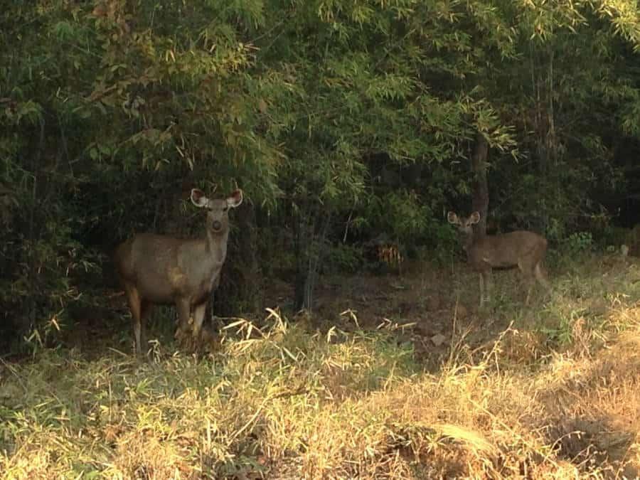 A picture of a sambar deer