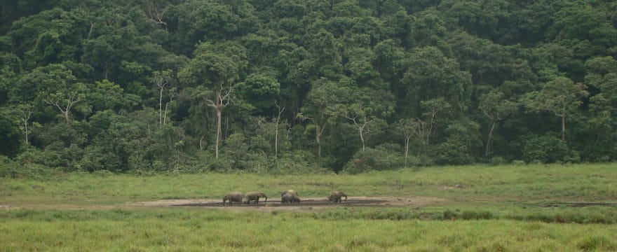 Forest elephants at Langue Bai in Ivindo National Park, Gabon.