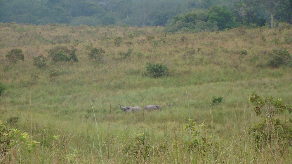 Forest elephants in Lopé National Park, Gabon.