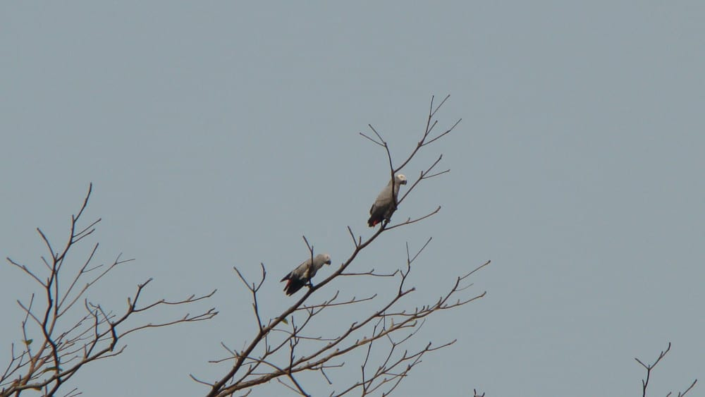 Another cool animal sighting: A pair of African Grey Parrot resting in the branches.
