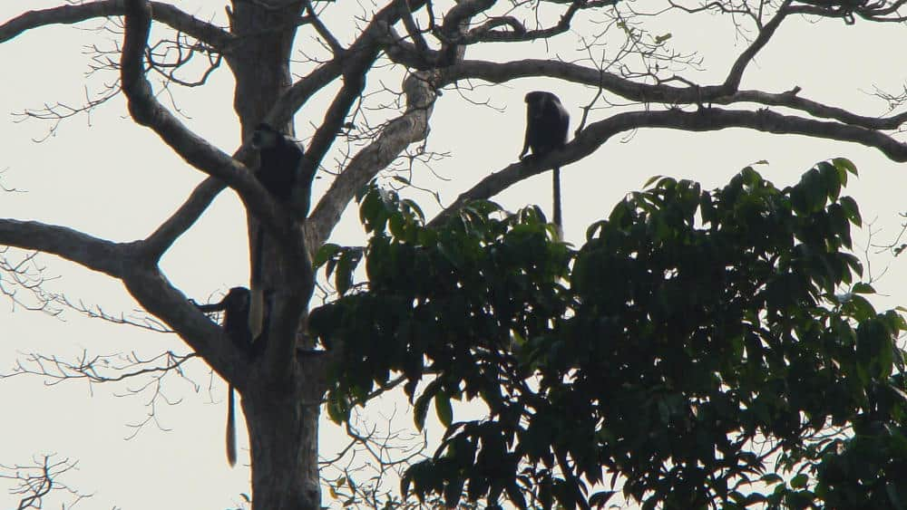 Black and white colobus monkeys sitting in a tree in the bai.