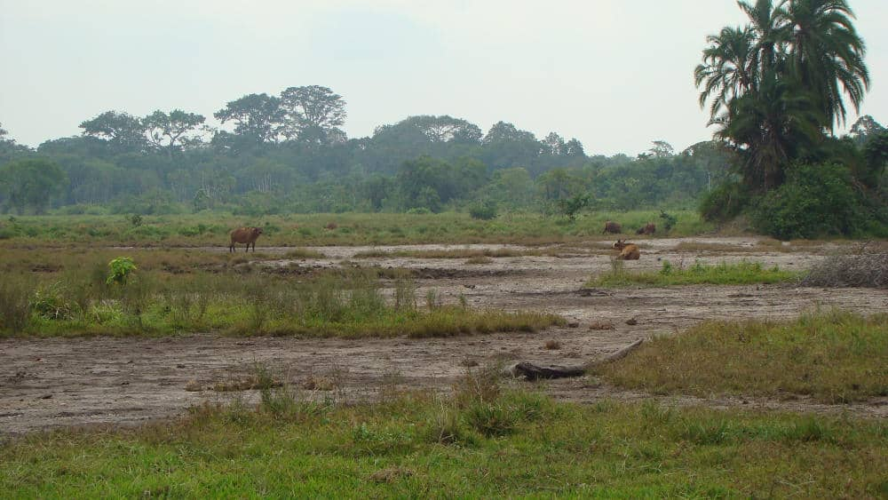 Some African forest buffaloes grazing and resting in the grass.