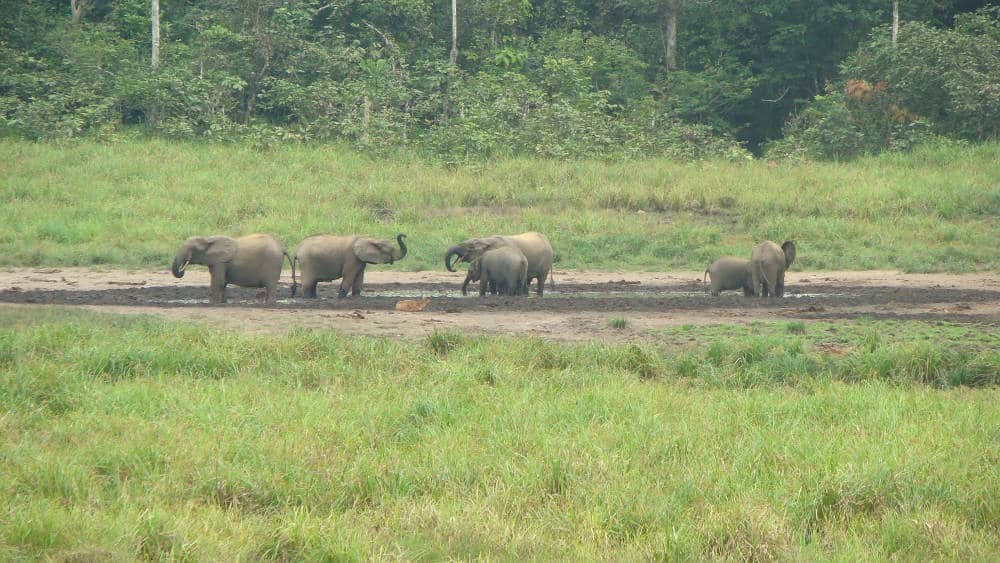 Forest elephants in the bai. The consume minerals from the soils they ingest.