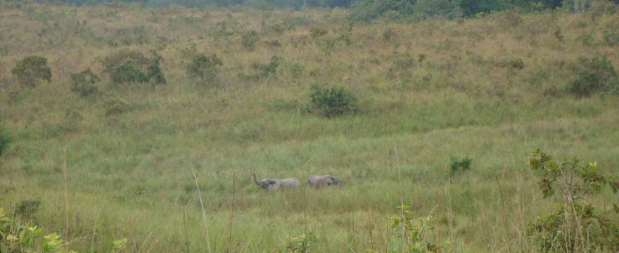 A picture of elephants in the grasslands