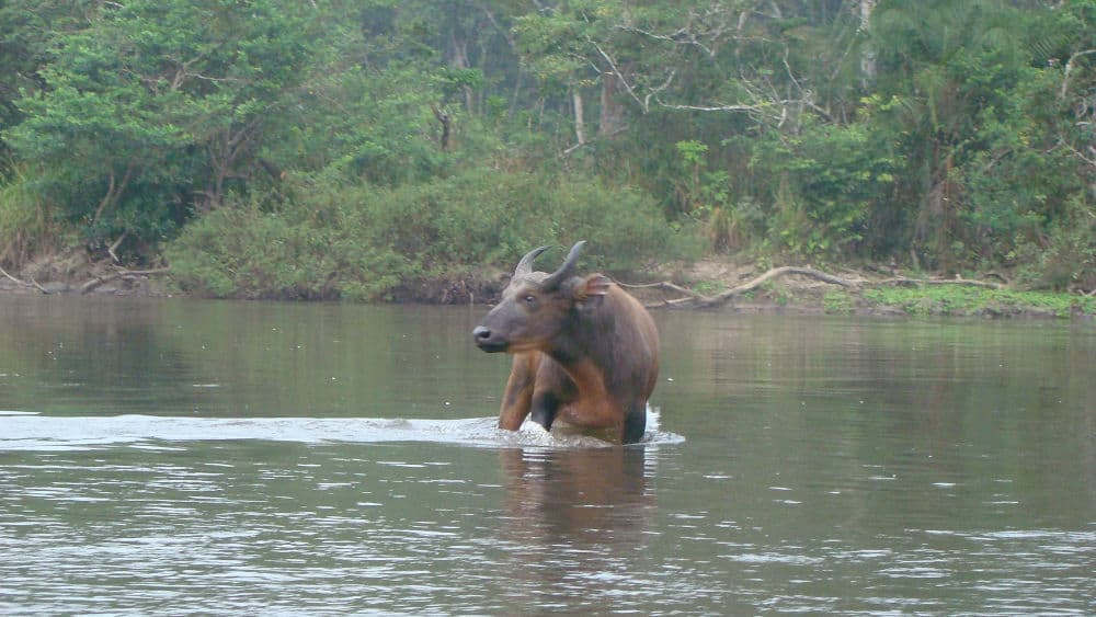 African forest buffalo in the river.