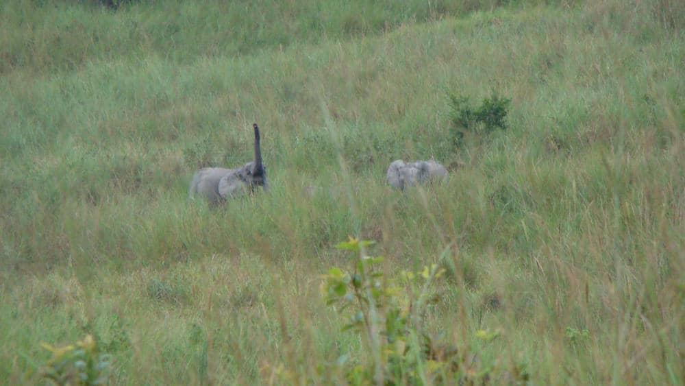 Forest elephants in the savannas.