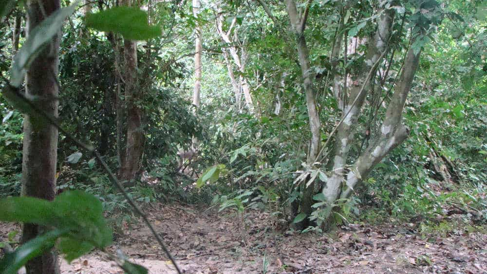 We tracked a group of radio-collared mandrills. I was able to capture this photo of one running past.
