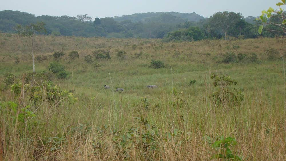 The savanna habitats of Lopé National Park allow you to observe forest elephants that are normally hidden in forested habitats.