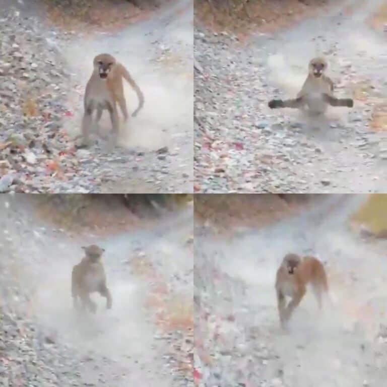 Mountain lion viral video