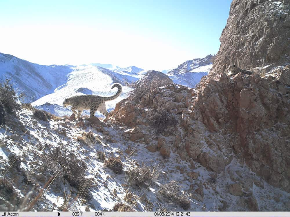Snow leopard on a sunny day from the eMammal Akesai County Mammal Survey Project.