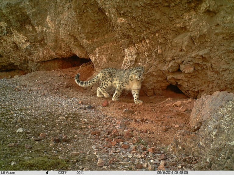 Snow leopard from eMammal - Akesai County Mammal Survey Project